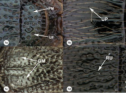 Figure 1a–1d. Examples of surface sculpture in Oxyscelio. Oxyscelio livens sp. n. holotype female (OSUC 148485) 1a Mesoscutellum, PM = punctate microsculpture (arrow indicates an individual punctum), UF = umbilicate fovea. Oxyscelio nasi sp. n. holotype male (OSUC 368915) 1b Mesoscutum, UP = umbilicate punctum. Oxyscelio striarum Burks paratype female (OSUC 257067) 1c Mesoscutum, GM = granulate microsculpture. Oxyscelio sepisessor sp. n. holotype female (OSUC 438936) 1d Mesoscutum, RU = ruga.