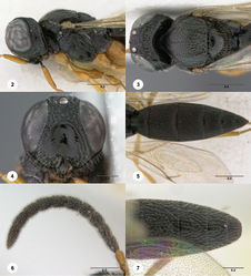 Figures 2–7. Oxyscelio aciculae sp. n., paratype female (OSUC 368139) 2 Head and mesosoma, lateral view. Paratype female (OSUC 368110) 3 Head and mesosoma, dorsal view 4 Head, anterior view 5 Metasoma, dorsal view. Paratype male (OSUC 368143) 6 Antenna 7 Metasoma, dorsal view. Morphbank26