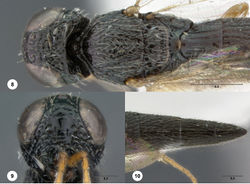 Figures 8–10. Oxyscelio anfractus sp. n., holotype female (OSUC 448564) 8 Head and mesosoma, lateral view 9 Head and mesosoma, dorsal view 10 Head, anterior view. Morphbank27