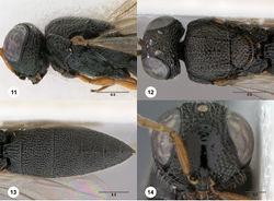 Figures 11–14. Oxyscelio atricoxa (Dodd), female (OSUC 429876) 11 Head and mesosoma, lateral view 12 Head and mesosoma, dorsal view 13 Metasoma, dorsal view. Female (OSUC 429885) 14 Head, anterior view. Morphbank28
