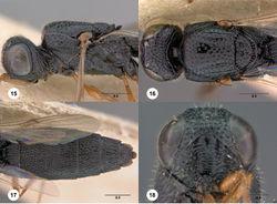 Figures 15–18. Oxyscelio bellariorum sp. n., paratype female (OSUC 435954) 15 Head and mesosoma, lateral view 16 Head and mesosoma, dorsal view 17 Head, anterior view 18 Metasoma, dorsal view. Morphbank29
