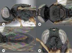 Figures 19–22. Oxyscelio bicoloripedis sp. n., holotype female (OSUC 225506) 19 Head and mesosoma, lateral view 20 Head and mesosoma, dorsal view 21 Metasoma, dorsal view. Paratype female (OSUC 221895) 22 Head, anterior view. Morphbank30