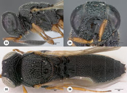 Figures 33–36. Oxyscelio caudarum sp. n., holotype female (OSUC 437874) 33 Head and mesosoma, lateral view 34 Head and mesosoma, dorsal view 35 Head, anterior view 36 Metasoma, dorsal view. Morphbank33