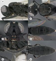 Figures 51–56. Oxyscelio concoloripes (Dodd), female (OSUC 439387) 51 Head and mesosoma, lateral view. Female (OSUC 439399) 52 Head and mesosoma, dorsal view 53 Head, anterior view 54 Metasoma, dorsal view. Male (OSUC 439527) 55 Antenna 56 Metasoma, dorsal view. Morphbank37