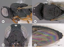 Figures 63–66. Oxyscelio contusionis sp. n., holotype female (ANIC DB 32-020142) 63 Head and mesosoma, lateral view 64 Head and mesosoma, dorsal view 65 Head, anterior view 66 Metasoma, dorsal view. Morphbank39