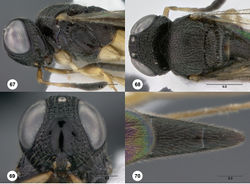 Figures 67–70. Oxyscelio corrugationis sp. n., female (OSUC 368229) 67 Head and mesosoma, lateral view 68 Head and mesosoma, dorsal view 69 Head, anterior view 70 Metasoma, dorsal view. Morphbank40