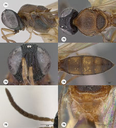 Figures 71–76. Oxyscelio croci sp. n., paratype female (OSUC 442324) 71 Head and mesosoma, lateral view 72 Head and mesosoma, dorsal view 73 Head, anterior view 74 Metasoma, dorsal view. Paratype male (OSUC 442329) 75 Antenna 76 Mesosoma, dorsal view. Morphbank41