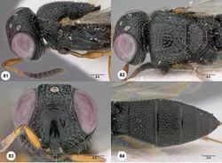Figures 81–84. Oxyscelio densitatis sp. n., holotype female (QM Reg. No. T35158) 81 Head and mesosoma, lateral view 82 Head and mesosoma, dorsal view 83 Head, anterior view 84 Metasoma, dorsal view. Morphbank43