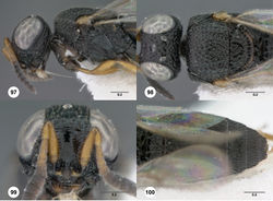 Figures 97–100. Oxyscelio exiguitatis sp. n., holotype female (OSUC 359682) 97 Head and mesosoma, lateral view 98 Head and mesosoma, dorsal view 99 Head, anterior view 100 Metasoma, dorsal view. Morphbank46