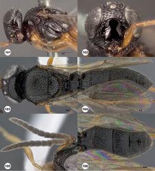Figures 101–106. Oxyscelio flavipes (Kieffer), Holotype female (B.M. TYPE HYM. 9.510) 101 Head and mesosoma, lateral view 102 Head, anterior view. Female (OSUC 438914) 103 Head and mesosoma, dorsal view. 104 Metasoma, dorsal view. Male (OSUC 227622) 105 Antenna 106 Metasoma, dorsal view. Morphbank47