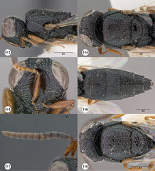 Figures 113–118. Oxyscelio foliorum sp. n., holotype female (OSUC 376702) 113 Head and mesosoma, lateral view 114 Head and mesosoma, dorsal view 115 Head, anterior view 116 Metasoma, dorsal view. Paratype male (OSUC 376701) 117 Antenna 118 Metasoma, dorsal view. Morphbank49
