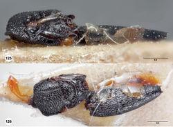 Figures 125–126. Oxyscelio grandis (Dodd), holotype male (SAMA DB 32-001588) 125 Mesosoma and metasoma, lateral view 126 Mesosoma and metasoma, dorsal view. Morphbank51