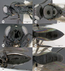 Figures 153–158. Oxyscelio leviventris sp. n., paratype female (OSUC 438829) 153 Head and mesosoma, lateral view 154 Head and mesosoma, dorsal view 155 Head, anterior view. Holotype female (OSUC 438828) 156 Metasoma, dorsal view 157 Metasoma, ventral view. Paratype male (OSUC 438832) 158 Metasoma, dorsal view. Morphbank57