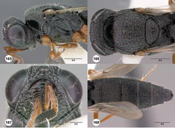 Figures 165–168. Oxyscelio liminis sp. n., holotype female (OSUC 376712) 165 Head and mesosoma, lateral view 166 Head and mesosoma, dorsal view 167 Head, anterior view 168 Metasoma, dorsal view. Morphbank59