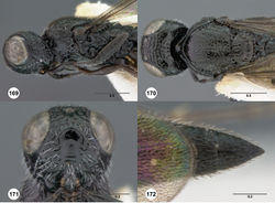 Figures 169–172. Oxyscelio linguae sp. n., holotype female (OSUC 448567) 169 Head and mesosoma, lateral view 170 Head and mesosoma, dorsal view 171 Head, anterior view 172 Metasoma, dorsal view. Morphbank60