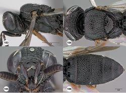Figures 183–186. Oxyscelio magniclava (Dodd), female (OSUC 441388) 183 Head and mesosoma, lateral view 184 Head and mesosoma, dorsal view 185 Head, anterior view 186 Metasoma, dorsal view. Morphbank63