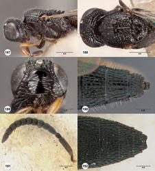 Figures 187–192. Oxyscelio mirellus (Dodd), female (B.M. TYPE HYM. 9.511) 187 Head and mesosoma, lateral view 188 Head and mesosoma, dorsal view 189 Head, anterior view. Female (OSUC 462747) 190 Metasomal apex, dorsal view. Paratype male (OSUC 462750) 191 Antenna 192 Metasoma, dorsal view. Morphbank64