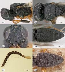 Figures 193–198. Oxyscelio montanus (Dodd), female (OSUC 441261) 193 Head and mesosoma, lateral view 194 Head and mesosoma, dorsal view 195 Head, anterior view 196 Metasoma, dorsal view. Holotype male (SAMA DB 32-001586) 197 Antenna 198 Metasoma, dorsal view. Morphbank65