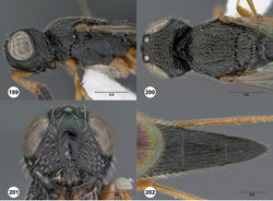 Figures 199–202. Oxyscelio mystacis sp. n., paratype female (OSUC 227614) 199 Head and mesosoma, lateral view 200 Head and mesosoma, dorsal view. Holotype female (OSUC 368224) 201 Head, anterior view 202 Metasoma, dorsal view. Morphbank66