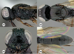 Figures 203–206. Oxyscelio nasi sp. n., holotype male (OSUC 368915) 203 Head and mesosoma, lateral view 204 Head and mesosoma, dorsal view 205 Head, anterior view 206 Metasoma, dorsal view. Morphbank67