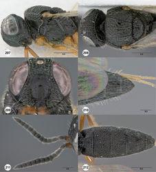 Figures 207–212. Oxyscelio nigriclava (Dodd), female (OSUC 441383) 207 Head and mesosoma, lateral view 208 Head and mesosoma, dorsal view. Female (OSUC 441384) 209 Head, anterior view. Female (OSUC 148370) 210 Metasoma, dorsal view. Male (OSUC 441386) 211 Antenna 212 Metasoma, dorsal view. Morphbank68