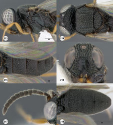 Figures 213–218. Oxyscelio nigricoxa (Dodd), female (OSUC 462599) 213 Head and mesosoma, lateral view 214 Head and mesosoma, dorsal view 215 Metasoma, dorsal view. Female (QDPC 0-165685) 216 Head, anterior view. Paratype male (OSUC 438140) 217 Antenna 218 Metasoma, dorsal view. Morphbank69