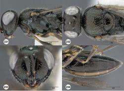 Figures 231–234. Oxyscelio oblongiclypei sp. n., paratype female (OSUC 438851) 231 Head and mesosoma, lateral view 232 Head and mesosoma, dorsal view 233 Lower face, anterior view 234 Metasomal apex, dorsal view. Morphbank72