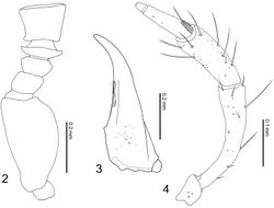Figures 2–4. Tetrasticta gnatha sp. n. 2 antennal segments I–V (right, dorsolateral view) 3 right mandible, male, dorsal view (hairs along inner side are those of prostheca) 4 right maxillary palpus, male, ventral view.