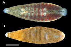 Figure 3. Dorsal surface of Placobdella cryptobranchii. A Living, YPM IZ 06339 B Preserved, YPM IZ 06340. Scale bar equals 2 mm.