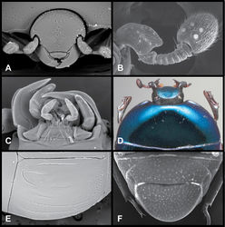 Figure 1. Baconia generic characters. A Frons of Baconia anthracina B Antenna of Baconia tricolor C Mouthparts of Baconia gibbifer D Pronotum of Baconia disciformis E Elytron of Baconia anthracina F Pygidia of Baconia tricolor.