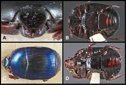 Figure 22. Baconia godmani group. A Frons of lectotype of Baconia choaspites B Ventral habitus of lectotype of Baconia choaspites C Dorsal habitus of lectotype of Baconia lewisi D Ventral habitus of lectotype of Baconia lewisi.