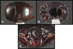 Figure 24. Baconia salobrus. A Dorsal habitus B Ventral habitus C Frons.