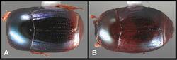 Figure 30. Baconia ruficauda group. A Dorsal habitus of Baconia ruficauda B Dorsal habitus of Baconia repens.