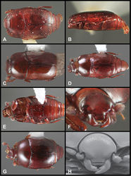 Figure 32. Baconia angusta group. A Dorsal habitus of paralectotype of Baconia angusta B Ventral habitus of paralectotype of Baconia angusta C Dorsal habitus of Baconia incognita D Dorsal habitus of Baconia guartela E Ventral habitus of Baconia guartela F Frons of Baconia guartela G Dorsal habitus of Baconia bullifrons H Frons of Baconia bullifrons.