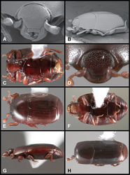 Figure 47. Baconia aeneomicans group. A Frons of Baconia lescheni B Lateral habitus of Baconia lescheni C Ventral habitus of Baconia lescheni D Frons of Baconia oblonga E Dorsal habitus of Baconia oblonga F Ventral habitus of Baconia animata G Lateral habitus of Baconia animata H Dorsal habitus of Baconia teredina.