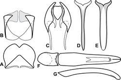 Figure 61. Male genitalia of Baconia insolita group. A T8 of Baconia tricolor B S8 of Baconia tricolor C T9 & T10 of Baconia tricolor D S9 of Baconia tricolor E S9 of Baconia pilicauda F Aedeagus, dorsal view of Baconia tricolor G Aedeagus, lateral view of Baconia tricolor.