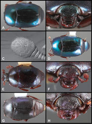 Figure 64. Baconia famelica group. A Dorsal habitus of Baconia famelica B Frons of Baconia famelica C Antennal club of Baconia famelica D Dorsal habitus of Baconia grossii E Dorsal habitus of Baconia redemptor F Frons of Baconia redemptor G Dorsal habitus of Baconia fortis H Frons of Baconia fortis.