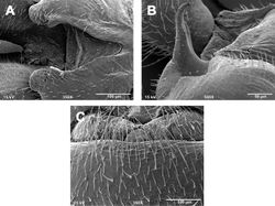 Figures 5. Zealeuctra hitei, scanning electron micrographs, USA, Texas, Kimble Co., Sycamore Creek, 14 December 1989. A male, cleft, dorsal view, 350× B male, epiproct, lateral view, 500× C female, posteromedial portion of seventh abdominal sternite, 350×.