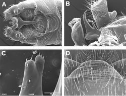 Figures 10. Zealeuctra warreni, scanning electron micrographs, USA, Arkansas, Polk Co., Rock Creek, 26 November 1983 (A), USA, Arkansas, Scott Co., Johnson Creek, 6 January 1999 (B–D). A male, cleft, dorsal view, 200× B male, epiproct, lateral view, 350× C male, tip of anterior accessory spine, anterior view, 3500× D female, posteromedial portion of seventh abdominal sternite, 350×.