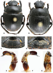 Figure 2. Gyronotus schuelei sp. n. A Holotype male, dorsal habitus B Allotype female, dorsal habitus C Male pygidium, ventral side D Female pygidium, ventral side E left F right and G ventral sides of aedeagus. Photo: Mickaël François.