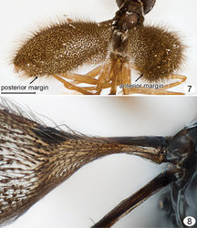 Figures 7, 8. Mymarilla wollastoni. 7 mesosoma, petiole and wings posterodorsal 8 fore and hind wing bases, dorsal. Scale line = 200 μm.