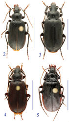 Figures 2–5. Habitus of the lancangjiang species group. 2 Orthogonius lancangjiang Tian & Deuve, male 3 idem, female 4 Orthogonius euthyphallus sp. n. paratype, male 5 Orthogonius macrophthalmus sp. n., holotype, female.