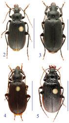 Figures 2–5. Habitus of the lancangjiang species group. 2 Orthogonius lancangjiang Tian & Deuve, male 3 idem, female 4 Orthogonius euthyphallus sp. n. paratype, male 5 Orthogonius macrophthalmus sp. n., holotype, female.