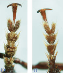 Figures 10–11. Fore tarsi of Orthogoniuseuthyphallus sp. n. 10, male 11, Female.