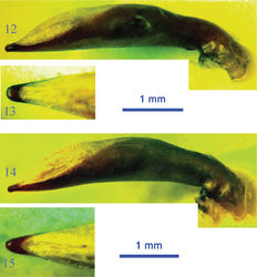 Figures 12–15. Male genitalia of the lancangjiang species group 12 Orthogonius lancangjiang, lateral view 13 idem, dorsal view of apical portion 14 Orthogonius euthyphallus sp. n., lateral view 15 idem, dorsal view of apical portion.
