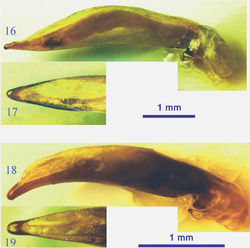 Figures 16–19. Male genitalia of the lancangjiang species group. 16 Orthogonius euthyphallus bolavenensis ssp. n., lateral view 17 idem, dorsal view of apical portion 18 Orthogonius carinatus sp. n., lateral view 19 idem, dorsal view of apical portion.