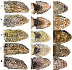 Figure 9. A comparison of head scalation for five species in the Plica plica Group found in northern South America. A Plica caribeana FMNH 49838 B Plica kathleenae FMNH 30931 C Plica medemi FMNH 165207 D Plica plica FMNH 128950 E Plica rayi FMNH 177926.