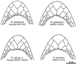 Figure 5. Schematic drawing of the chin region of the lectotype and a new specimen from Sinai of Hemidactylus granosus, the holotype of Hemidactylus ulii sp. n., and Hemidactylus turcicus from Sinai.