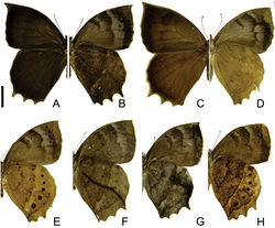 Figure 2. Adults of Taygetis ypthima. A–B male A dorsal view B ventral view C–D female C dorsal view D ventral view E–H variations in ventral view. Scale bar = 1 cm.