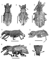 Figures 1–7. Photographs of Stenocyphus spp. 1–3 habitus dorsal view 4–6 habitus lateral view 7 head and rostrum dorsal view. 1, 4, 7 Stenocyphus bituberosus 2, 5 Stenocyphus sextuberosus 3, 6 Stenocyphus tuberculatus. Scales: 5 mm; rostrum and head 1 mm.